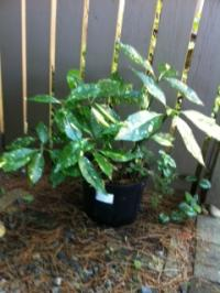 Beautiful Aucuba  Evergreen  Shrub (varigated)